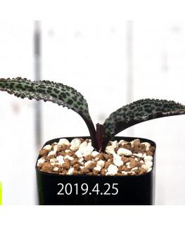 ドリミオプシス ブルケイ 子株 8676