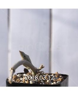 セロペギア ラディカンス ラディカンス亜種 子株 8746