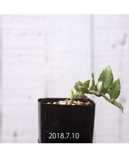 セロペギア サンダーソニー EQ490 実生 8766
