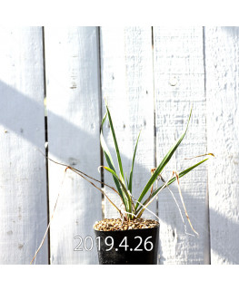 Yucca リギダ EQ493 実生 8779