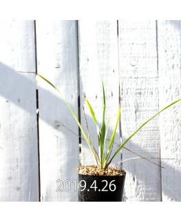 Yucca リギダ EQ493 実生 8781
