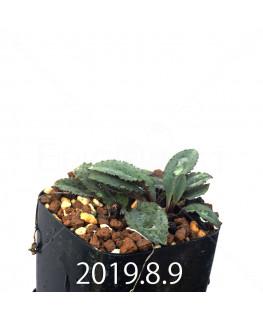 ドリミオプシス sp. EQ496 子株 8828