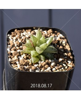 ハオルチア レティキュラータ フリンギー変種 子株 9729
