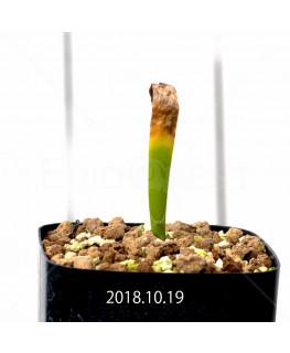 ハエマンサス アマリロイデス アマリロイデス亜種 実生 9778