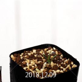 カマイスキラ スピラリス 子株 11298