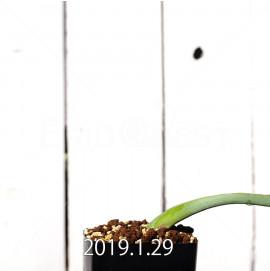ラケナリア ムタビリス EQ467 実生 11425
