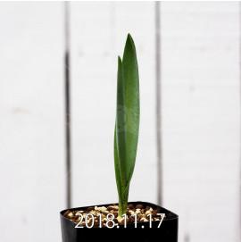 ラケナリア スタイネリ 子株 11717