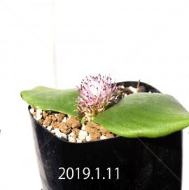 マッソニア ジャスミニフローラ IB11536/JIL085 実生 12003