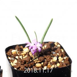 ラケナリア ポーキフォリア EQ660 実生 12106