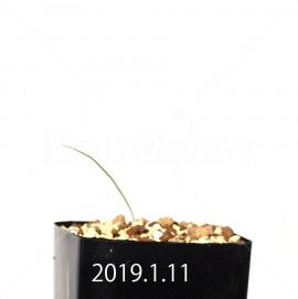 アンドロキンビウム キルキナツム キルキナツム亜種 実生 12219