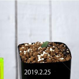 エリオスペルマム ランケイフォリウム EQ722 実生 12731