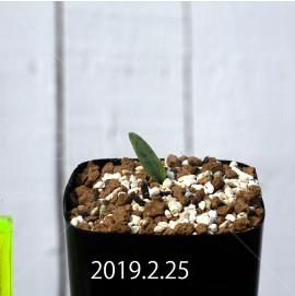 エリオスペルマム ランケイフォリウム EQ722 実生 12736