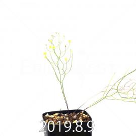 エリオスペルマム ポルフィロウァルウェ EQ732 実生 13050