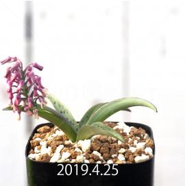 レデボウリア sp. aff. saundersonii 実生 13347