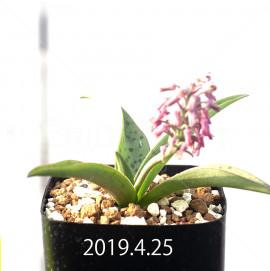 レデボウリア sp. aff. saundersonii 実生 13358