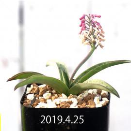 レデボウリア sp. aff. saundersonii 実生 13360