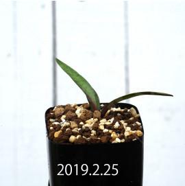 レデボウリア コリアセア DMC9654 子株 13441