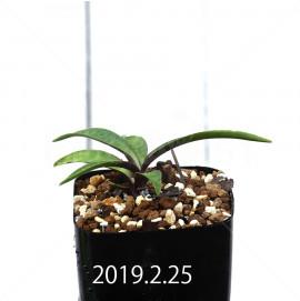 レデボウリア コリアセア DMC9654 子株 13442