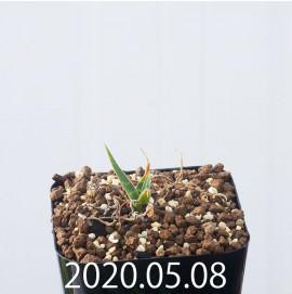 レデボウリア レボルタ JAA1622 実生 14879
