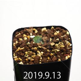 レデボウリア オヴァティフローラ スカブリダ変種 実生 14906
