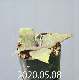 レデボウリア オヴァティフローラ スカブリダ変種 実生 14908