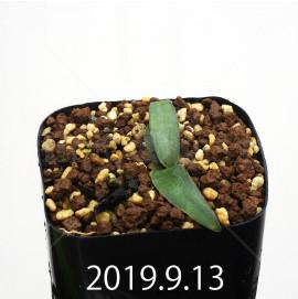 レデボウリア オヴァティフローラ スカブリダ変種 実生 14914
