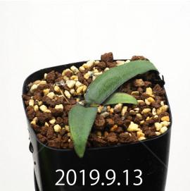 レデボウリア オヴァティフローラ スカブリダ変種 実生 14929