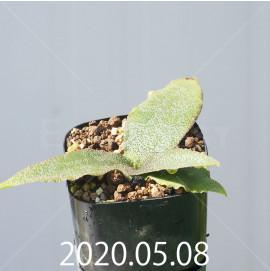 レデボウリア オヴァティフローラ スカブリダ変種 実生 14932