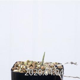 レデボウリア マルギナータ EQ778 実生 14940