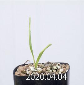 レデボウリア マルギナータ EQ778 実生 15030