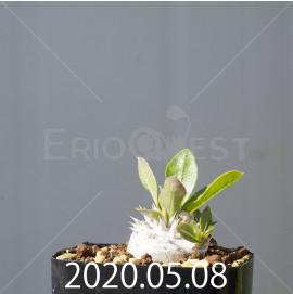 パキポディウム エブレネウム EQ787 実生 15125