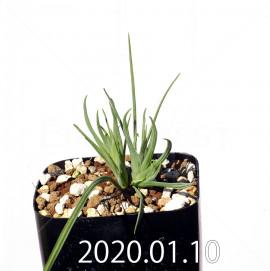 ラペイロージア シレノイデス EQ706 実生 17210