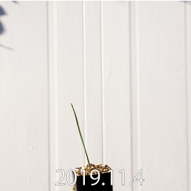 モラエア エレガンス オレンジイエロー 実生 17376