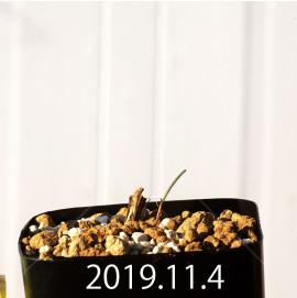 エリオスペルマム アフィルム IB10404 実生 19073