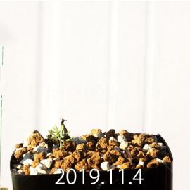 エリオスペルマム アフィルム IB10404 実生 19102