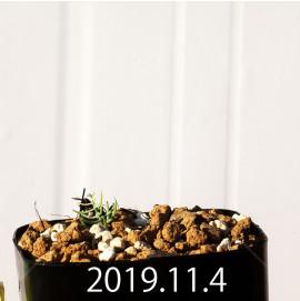 エリオスペルマム アフィルム IB10404 実生 19119