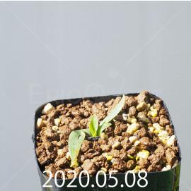 レデボウリア sp. JAA1038 実生 20564