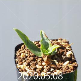 レデボウリア sp. JAA1038 実生 20583