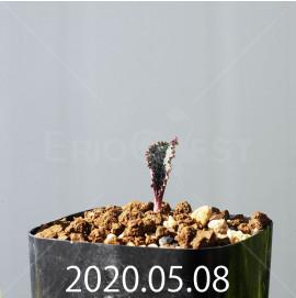 ドリミオプシス ブルケイ EQ737 子株 20795