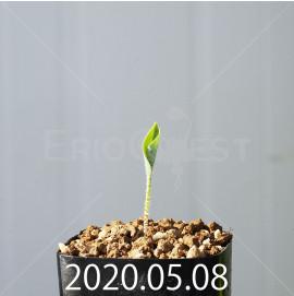 ドリミオプシス アトロプルプレア EQ756 実生 20837