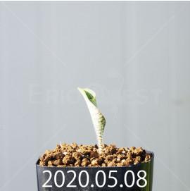 ドリミオプシス アトロプルプレア EQ756 実生 20846