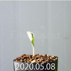 ドリミオプシス アトロプルプレア EQ756 実生 20853