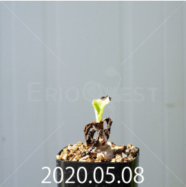 レデボウリア コンカラー DMC10146 子株 20856