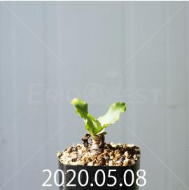 レデボウリア コンカラー DMC10146 子株 20869