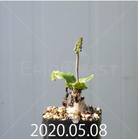 レデボウリア コンカラー DMC10146 子株 20873