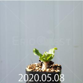 レデボウリア コンカラー DMC10146 子株 20876