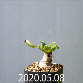 レデボウリア コンカラー DMC10146 子株 20878