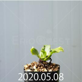 レデボウリア コンカラー DMC10146 子株 20885