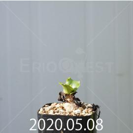 レデボウリア コンカラー DMC10146 子株 20888