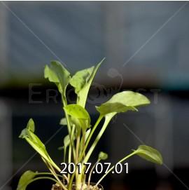 ドリミオプシス マキュラータ  ES16593 子株 2414